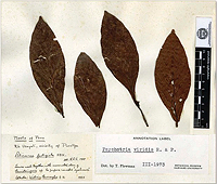 Psychotria viridis voucher sample collected by William S. Burroughs